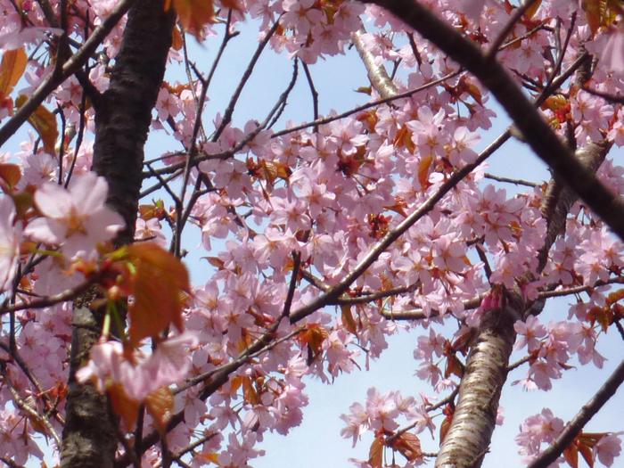 ベニヤマザクラ、別名「大山桜」